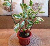 Домашний цветок Педилантус