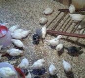 Цыплята разного возраста. .