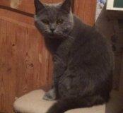 Британская кошка ищет жениха