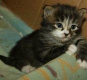 Сибирские котята дым с серебром