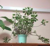Комнатное растение, цветок. Срочно