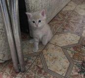 Котёнок розовая дымка