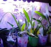 Орхидеи распродажа