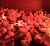 Цыплята бройлер конкурент 3 доставка