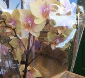 Орхидея очень необычного цвета