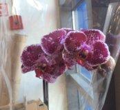 Орхидея одна стрелка