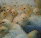 Цыплята разного возраста и пород