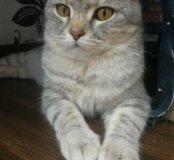 Британский котик дымчатый