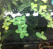 Пистия (водоросли)