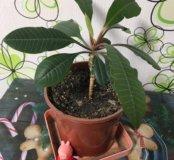 Растение малочай