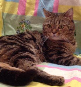 Шотландский кот, вязка