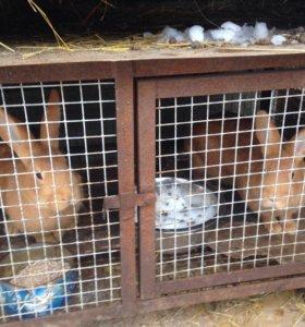 Кролики калифорнийский и бургундский