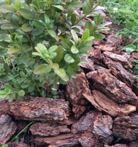 Кора лиственницы сибирской