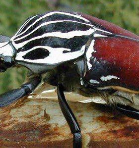 Личинки жука Голиафа