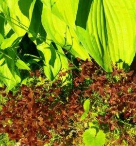 Оксалис бордовый