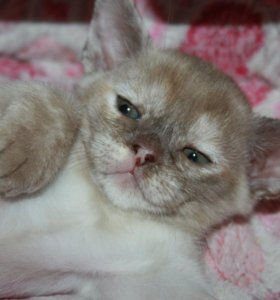 Котята породы бурма