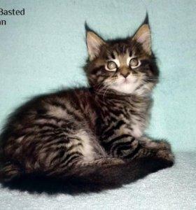 Продаются котята породы Мейн кун.
