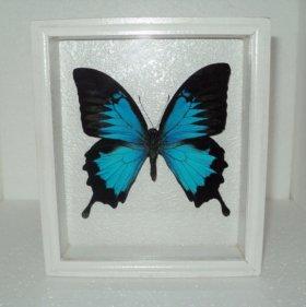 Бабочка в рамке. Парусник улисс.