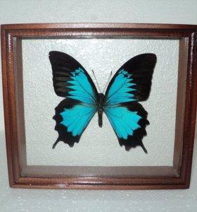 Бабочка в рамке. Парусник улисс
