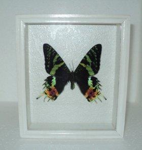 Бабочка в рамке. Парусник урания