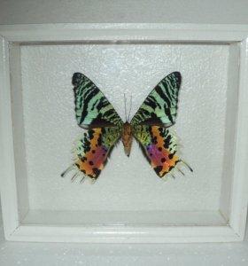 Бабочка в рамке. Парусник урания.