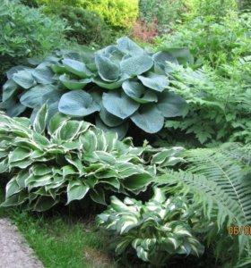 Саженцы, цветы, многолетние растения
