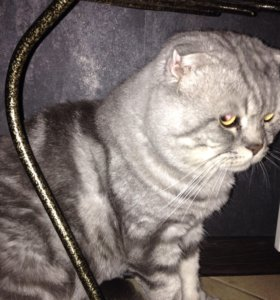 Вязка с вислоухим, шотландским котом