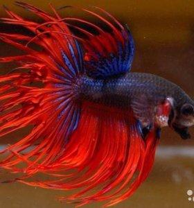 Петух аквариумная рыба