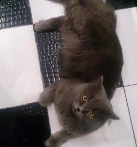 Красавец кот ищет кошечку