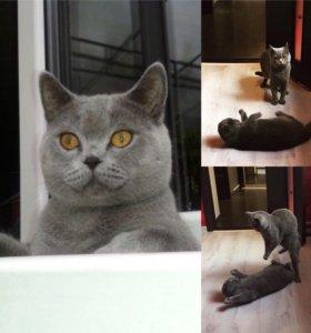 Вязка с Британским котом (сама привезу и заберу)