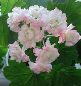 Пеларгония (розебудная) герань