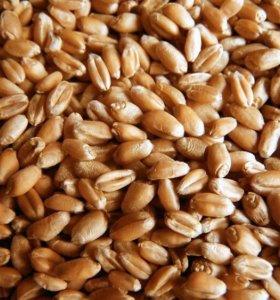 Пшеница продажа от фермера. Зерно