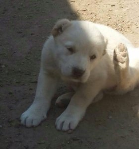 щенки Армянского Гампра (Волкодава)НЕ АЛАБАЙ !!!