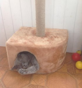 Вязка Британский кот красавец