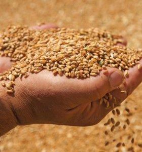 Пшеница..