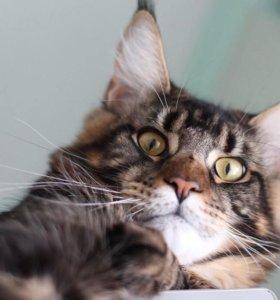 Продам крупных котят породы Мэйн Кун