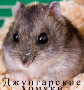 Хомяк Джунгарский