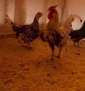 Продам породистых курей петухов и цыплят