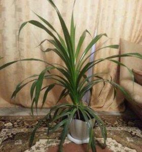Панданус (винтовая пальма).Растение в горшке