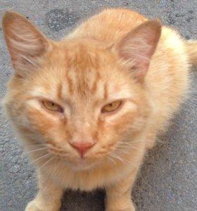 Пушистый рыжий кот в добрые руки
