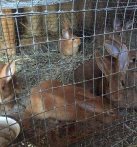 Кролики срочно продам