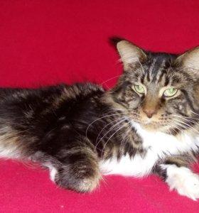 Мейн кун вязка кот