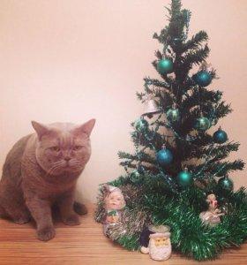 Вязка, кот британец очень крупный