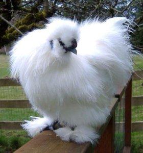 Цыплята  китайско хохлатые два петушка и три кур