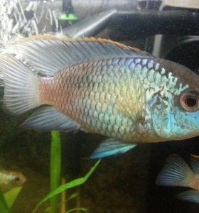Аквариумные рыбки цихлида Наннакара неон блю