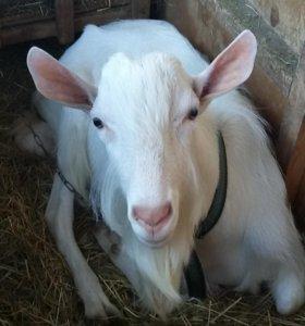 Чистопородный зааненский козел