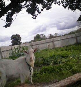 Племенной козел