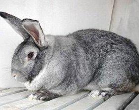 Кролики разных мясных пород