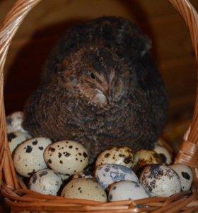 Яйца перепелиные и куриные