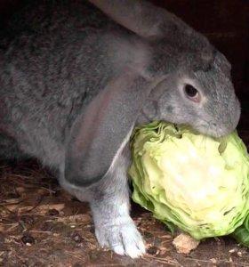 Продам кроликов серый великан